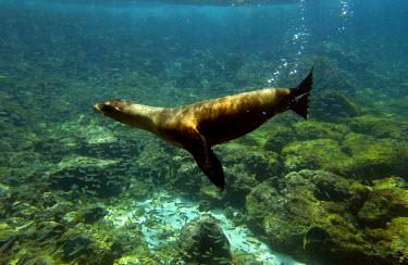 SA07_POX0274_M Galapagos sealion (Zalophus wollebaeki). Gardner Bay, Espaûola (Hood) Island, Galapagos Islands. ECUADOR.  South America.