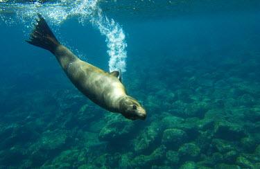 SA07_POX0270_M Galapagos sealion (Zalophus wollebaeki). Gardner Bay, Espaûola (Hood) Island, Galapagos Islands. ECUADOR.  South America.