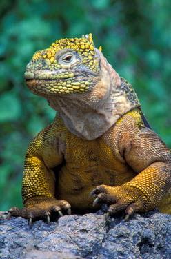 SA07_JSG0208_M Ecuador, Galapagos Islands, South Plaza Island. Marine Iguana (Conolophus subcristatus)