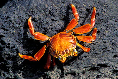 SA07_JSG0110_M Ecuador, Galapagos Islands. Sally Lightfoot Crab (Grapsus grapsus)