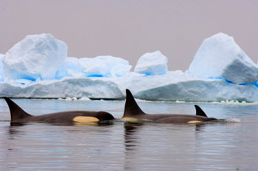 AN02_SKA0021_M killer whales (orcas), Orcinus orca, pod traveling in waters off the western Antarctic Peninsula, Antarctica, Southern Ocean