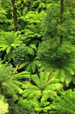 AU01_DWA1604_M Ferns, Otway Fly, Otway Ranges, Victoria, Australia