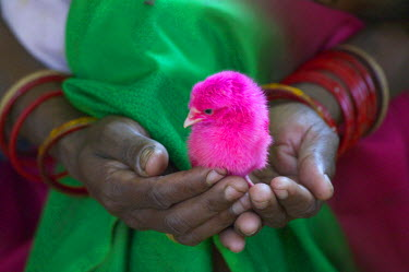 AS10_KSU0013_M Woman holding a little chick painted with holy color, Orissa, India