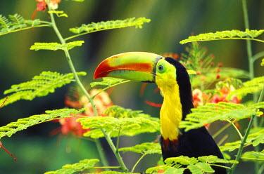 NA02_SWE0025_M Central America, Honduras. Keel-billed Toucan (Ramphastos sulforatus)