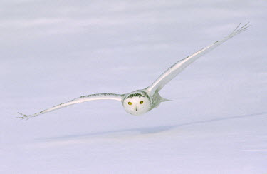 CN10_BJA0001_M Canada, Quebec. Snowy owl flies low over snow