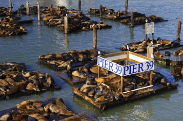 US10326 USA, California, San Francisco, Fisherman's Wharf, Pier 39, Sea Lions