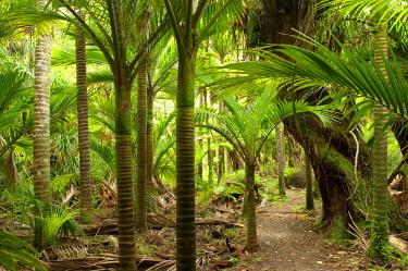 AU02_DWA1587_M Nikau Palms, Heaphy Track, near Karamea, Kahurangi National Park, West Coast, South Island, New Zealand
