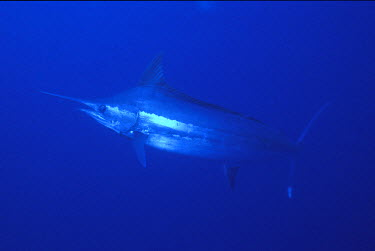 OC04_BJA0013_M South Pacific, Solomon Islands. Close-up of swimming blue marlin fish with nose spear