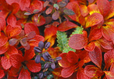 US02_SWE0044_M USA, Alaska. Denali National Park. Bearberry (Arctostaphylos Uvaursi) and dwarf cranberries