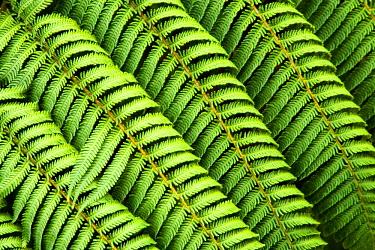 AU02_DWA3314_M Tree Fern, Tangarakau Gorge, Forgotten World Highway, Taranaki, North Island, New Zealand