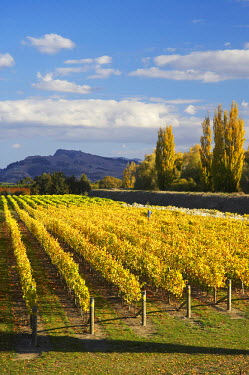 AU02_DWA3928_M Black Ridge Vineyard, near Haumoana, Hawkes Bay, North Island, New Zealand