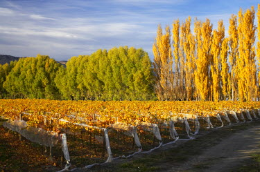 AU02_DWA4133_M Silver Tussock Vineyard, near Cromwell, Central Otago, South Island, New Zealand