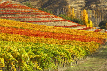 AU02_DWA4141_M Mt Difficulty Vineyard, Bannockburn, near Cromwell, Central Otago, South Island, New Zealand