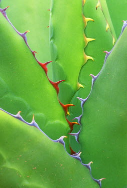 US03_RTI0014_M USA, AZ, Phoenix, Desert Botanical Museum, Agave (Agave shawii)