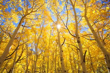 US05_BJA0345_M USA, California, Sierra Nevada Mountains. Fall colors of aspen trees in bright sunshine