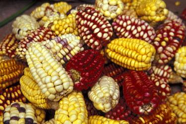 SA17_DGU0005_M Peru Corn, Maize