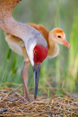 US10_BJA0039_M USA, Florida, Indian Lake Estates. Close-up of sandhill crane and chick at nest