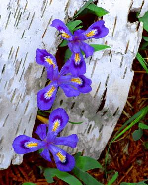 US23_BJA0059_M USA, Michigan, Upper Peninsula. Dwarf lake iris growing through birch bark