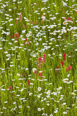 US27_CHA0884_M Oxeye Daisies mixed with Indian Paintbrush in Glacier National Park in Montana
