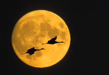 US32_BJA0000_M USA, New Mexico, Bosque del Apache National Wildlife Reserve, Sandhill cranes flying in front of full moon (digital composite)