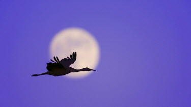 US32_BJA0007_M USA, New Mexico, Bosque del Apache National Wildlife Refuge. Silhouette of sandhill crane flying across full moon.