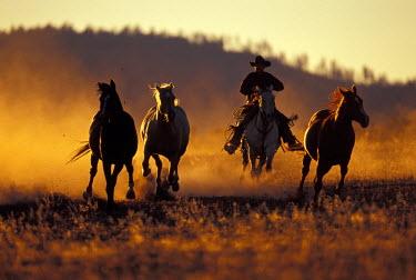 US38_DGU0092_M USA, Oregon, Seneca, Ponderosa Ranch, Cowboy and horses running PR (MR)