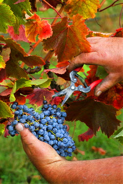 US38_JMI0690_M Picker cuts merlot grapes from the vine in the fall-colored vineyard at Abacela Vineyards & Winery near Roseburg, Oregon.