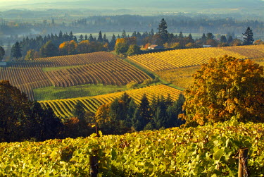 US38_JMI0762_M On a misty Willamette Valley morning, light dances across the grape leaves that cling to the vines at Domaine Drouhin Vineyards near Dundee, Oregon, USA.