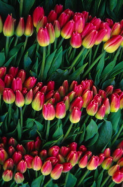 US48_JME0360_M USA, Washington, Skagit Valley. Pink tulips