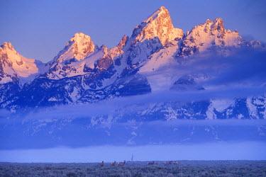 US51_AWO0019_M USA, Wyoming, Grand Teton NP, elk or Wapiti herd (Cervus elaphus)