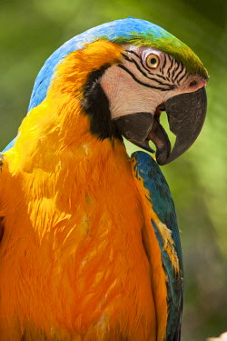 HN01105 Honduras, Copan Ruinas, Blue and Gold Macaw