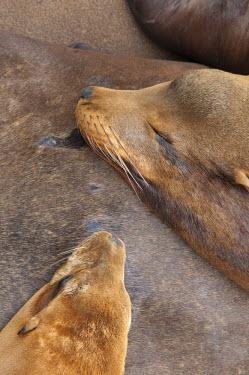 US10500 USA, California, Morro Bay, Sea Lions