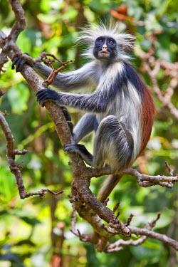 TZ2934 Tanzania, Zanzibar. A Zanzibar red colobus monkey in the Jozani Forest southeast of Stone Town.