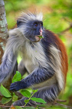 TZ2936 Tanzania, Zanzibar. A Zanzibar red colobus monkey eating leaves in the Jozani Forest southeast of Stone Town.
