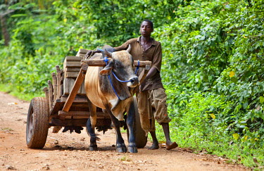 TZ2954 Tanzania, Zanzibar. A man steers his ox-drawn cart near Mangapwani.  This form of transport is common in rural areas on the island.