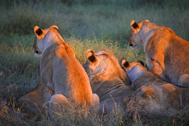 SAF5847 South Africa; North West Province; Madikwe Game Reserve. A pride of lions watch a distant herd of impala at sunrise.