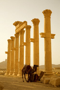 SY1287 Syria, Palmyra. Two camels wait amongst the columns of Queen Zenobia's ancient Roman city at Palmyra.(MR)