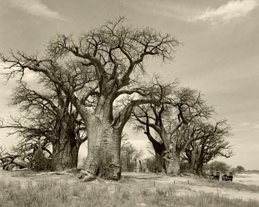 BOT5124 Botswana.  Baines' baobabs, an isolated copse of ancient baobabs in the Kalahari Desert.