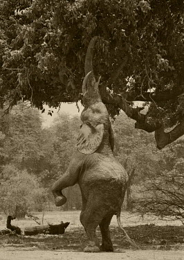ZIM2511 Zimbabwe, Mana Pools.  An elephant stands up on its hind legs to pick the pods from an acacia tree.