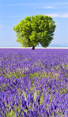 FRA6568AW Tree in a lavender field, Valensole plateau, Provence, France