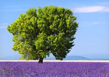 FRA6567AW Tree in a lavender field, Valensole plateau, Provence, France