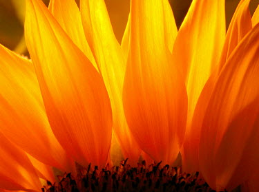 FRA6560AW Sunflower