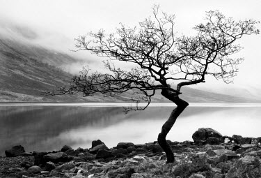 SCO33131AW Solitary tree on the shore of Loch Etive, Highlands, Scotland, UK