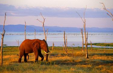 ZIM0289 Zimbabwe, Matusadona National Park.  A bull elephant wanders along the short of Lake Kariba.