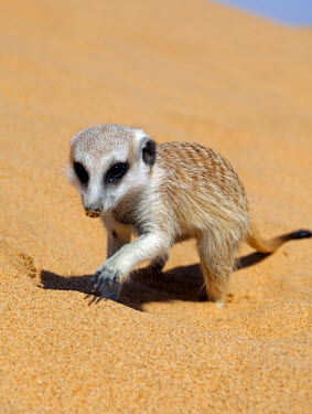 NAM4011 Africa, Namibia, Skeleton Coast. A meerkat (Suricata suricatta) burrowing into the sand of the coastal dune belt in search of insect food source