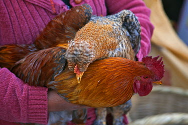 ECU1152 Ecuador, Plump cockerels and chickens are sold at the weekly farmers� market at Sangolqui.