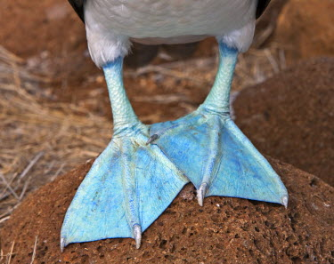 GAL0060 Galapagos Islands, The feet of male Blue-footed boobys are a more sea-green colour than females.
