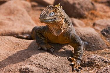 GAL0067 Galapagos Islands, A land iguana on North Seymour island.