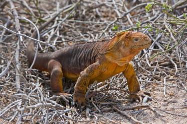 GAL0070 Galapagos Islands, A land iguana on North Seymour island.
