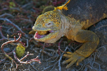GAL0073 Galapagos Islands, A land iguana on South Plaza island feeds on prickly pears, highlighting the toughness of its mouth.
